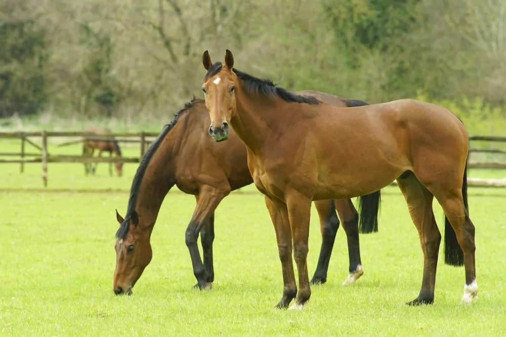 Thoroughbred horses grazing in the field.