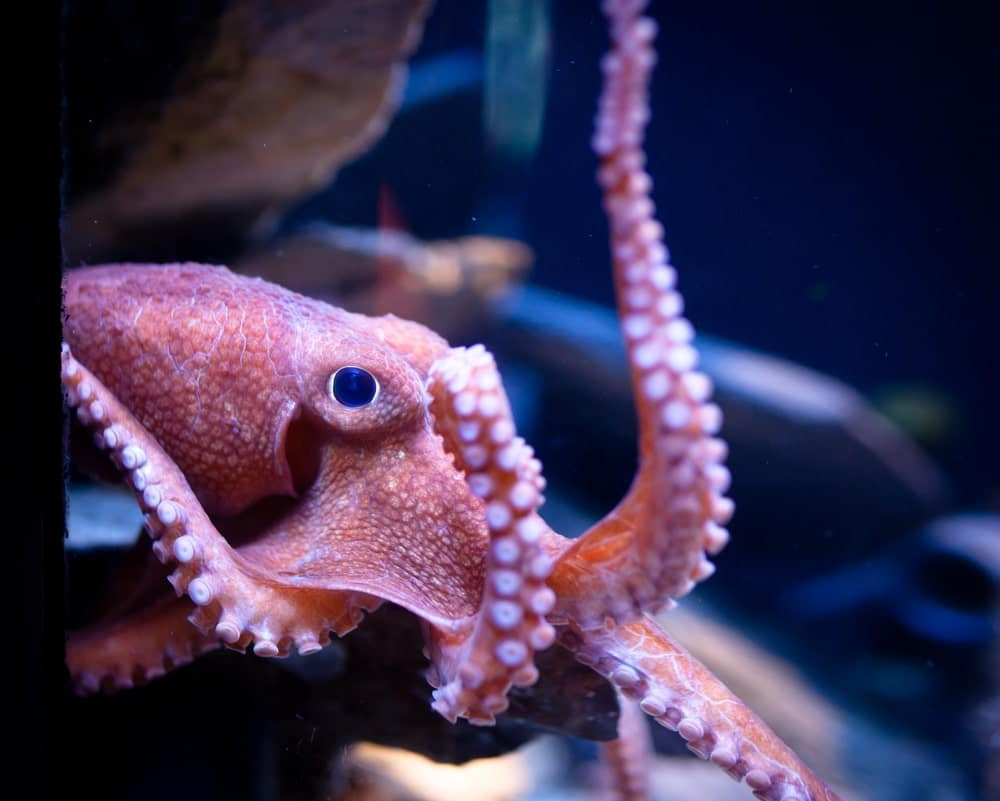 Octopus looking out from the aquarium.
