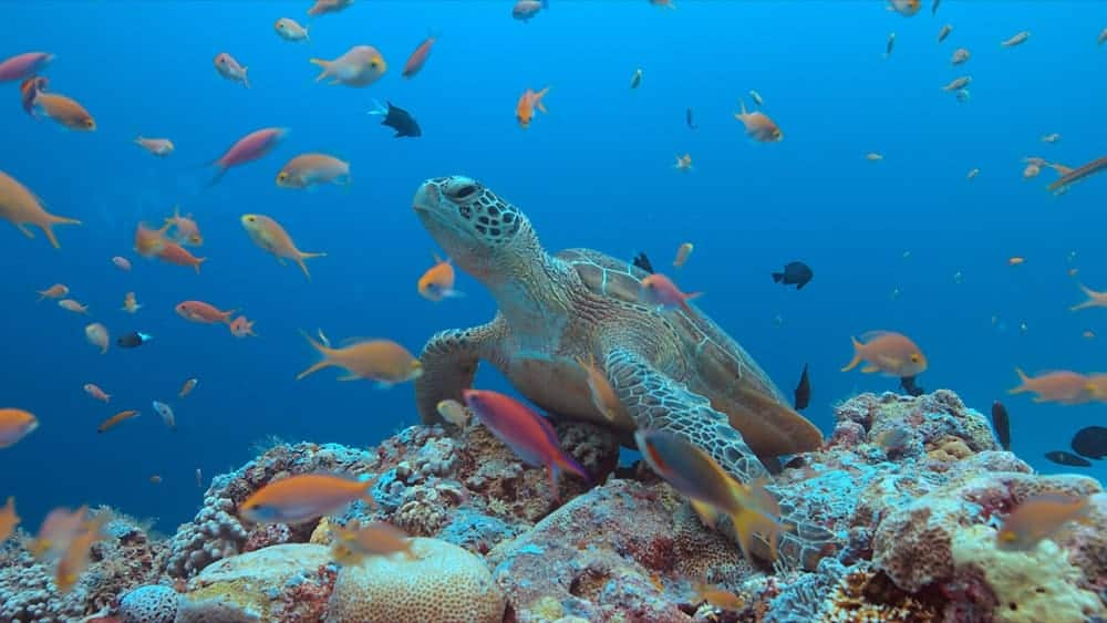 Green sea turtle and small fishes in the Tubattaha reef.