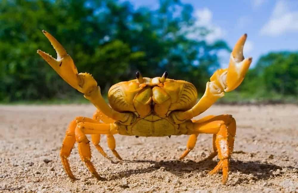 A crab raising its hands.