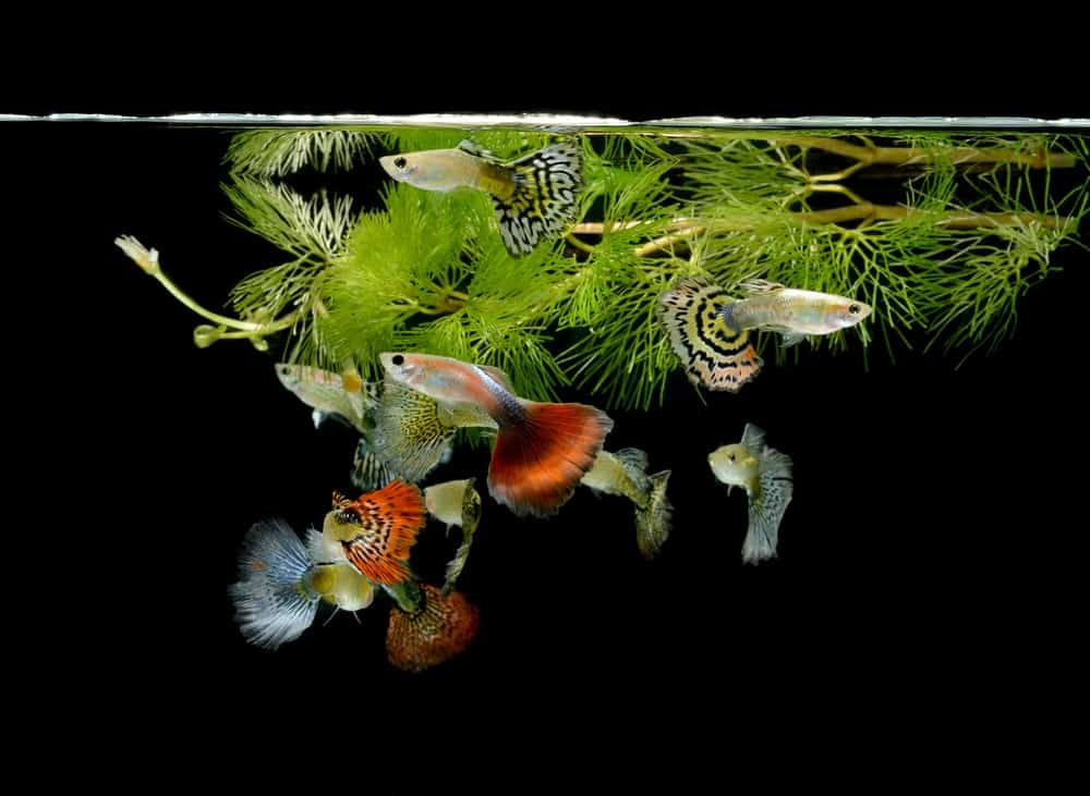 Various types of guppies inside a fish tank.