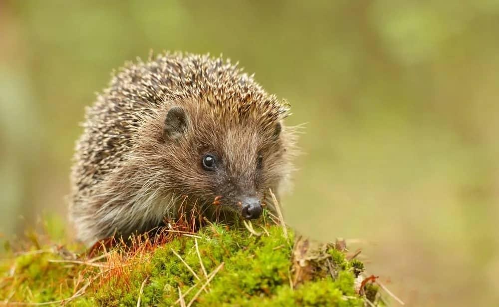 Hedgehog on a grass.