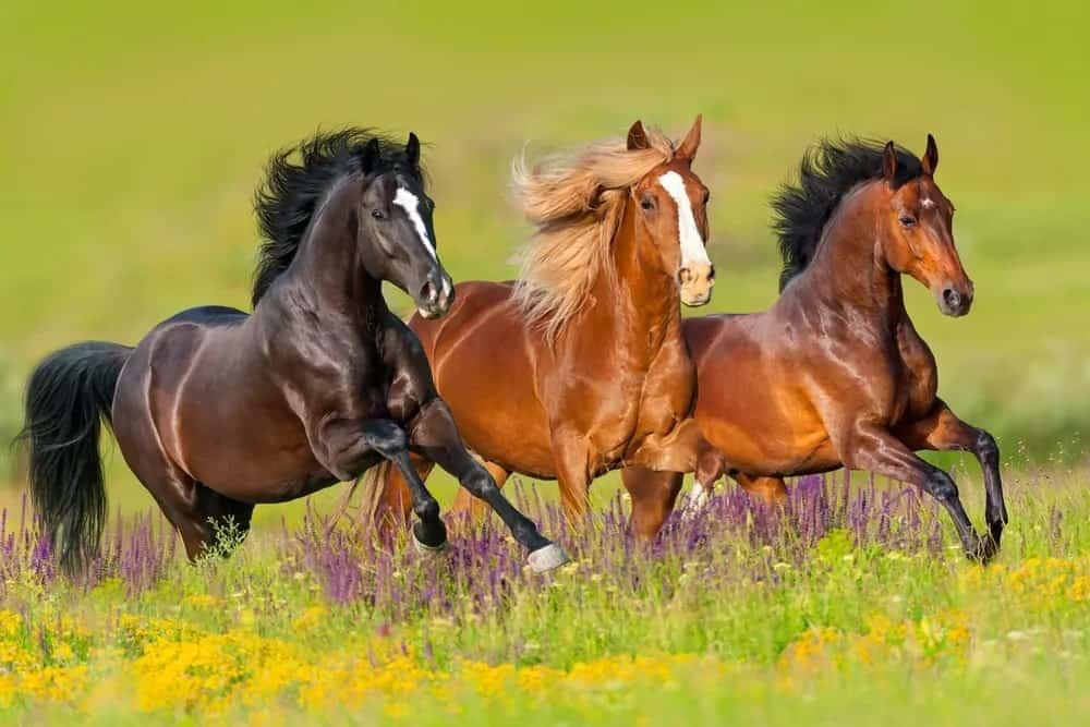 Wild horses running in a field.