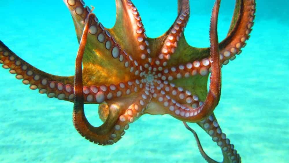 An octopus under water.