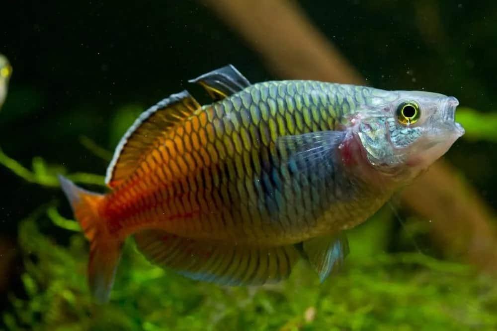 A rainbowfish inside an aquarium.