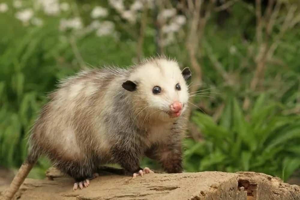 Virginia opossum walking on a log.
