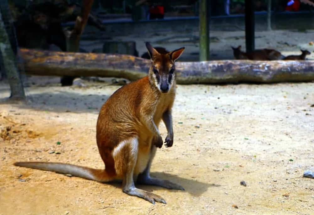 A Wallaby standing on the ground.