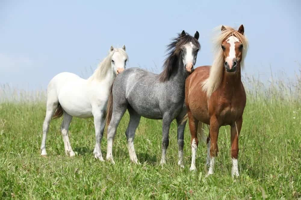 Three Welsh Ponies in different colors.
