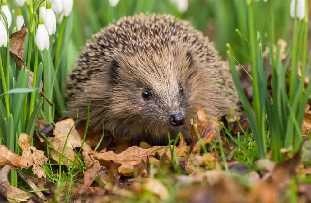 Wild hedgehog sitting on autumn leaves.
