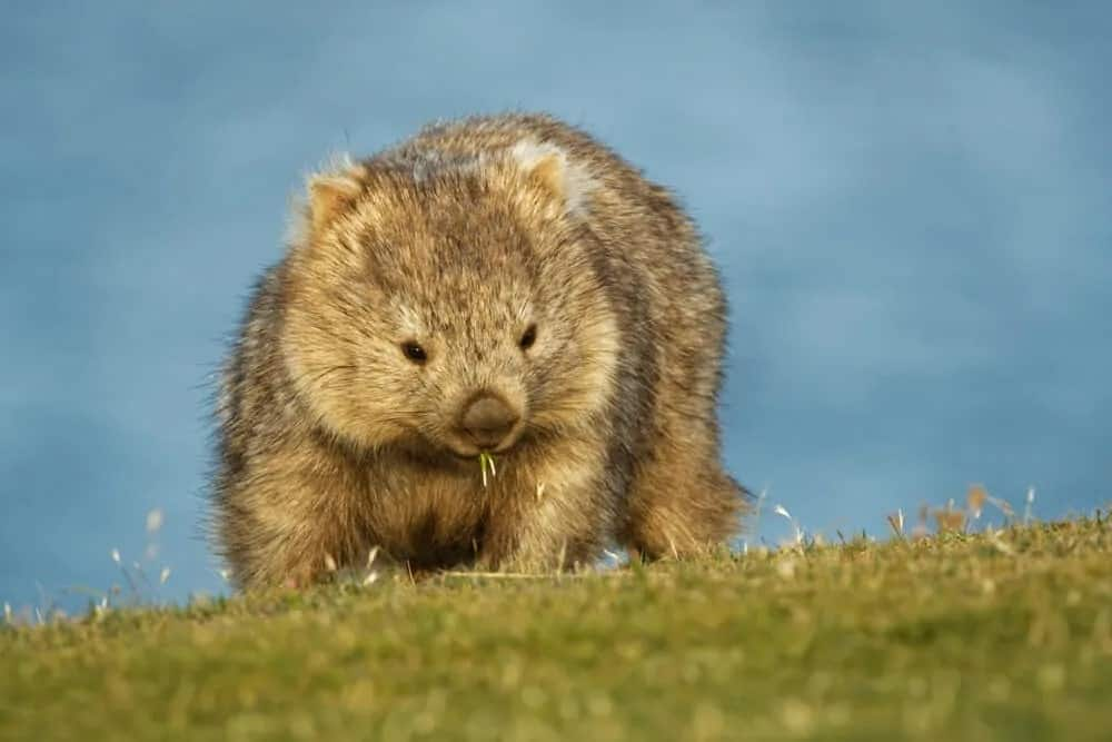 A wombat in the grassland.