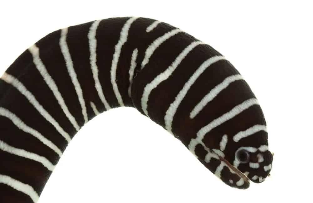 Zebra Moral eel