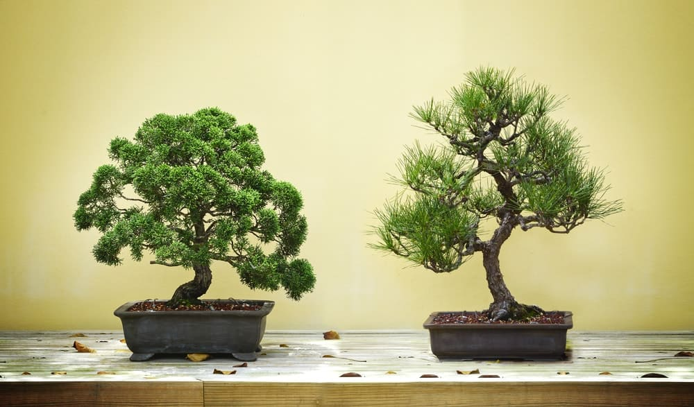 A couple of bonsai trees planted on rectangular pots.