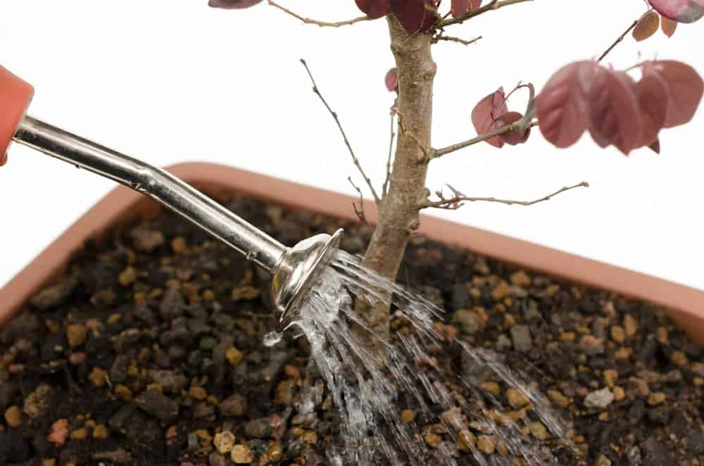 A close look at a bonsai tree with bonsai soil being watered.