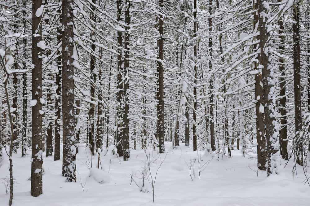 Boreal forest in winter.