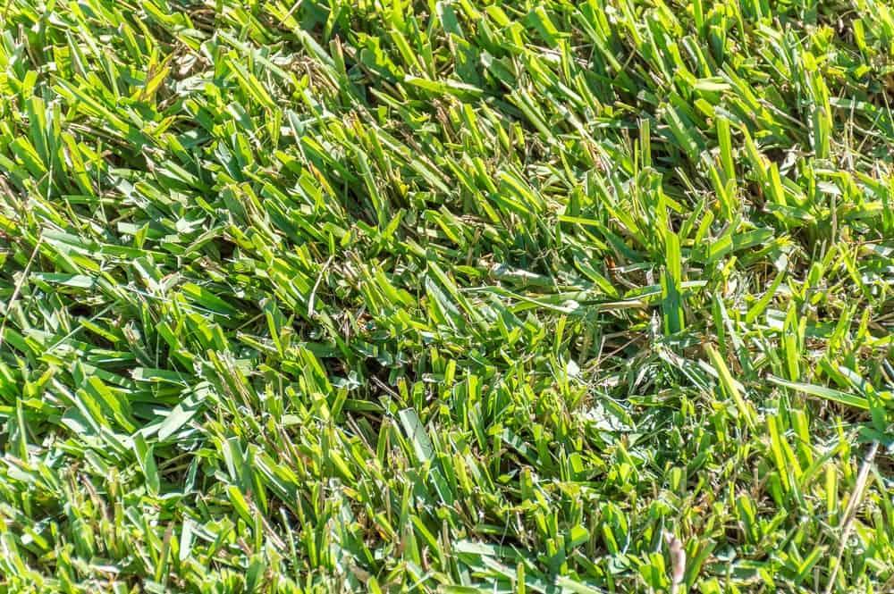 Closeup of freshly cut Centipede grass.