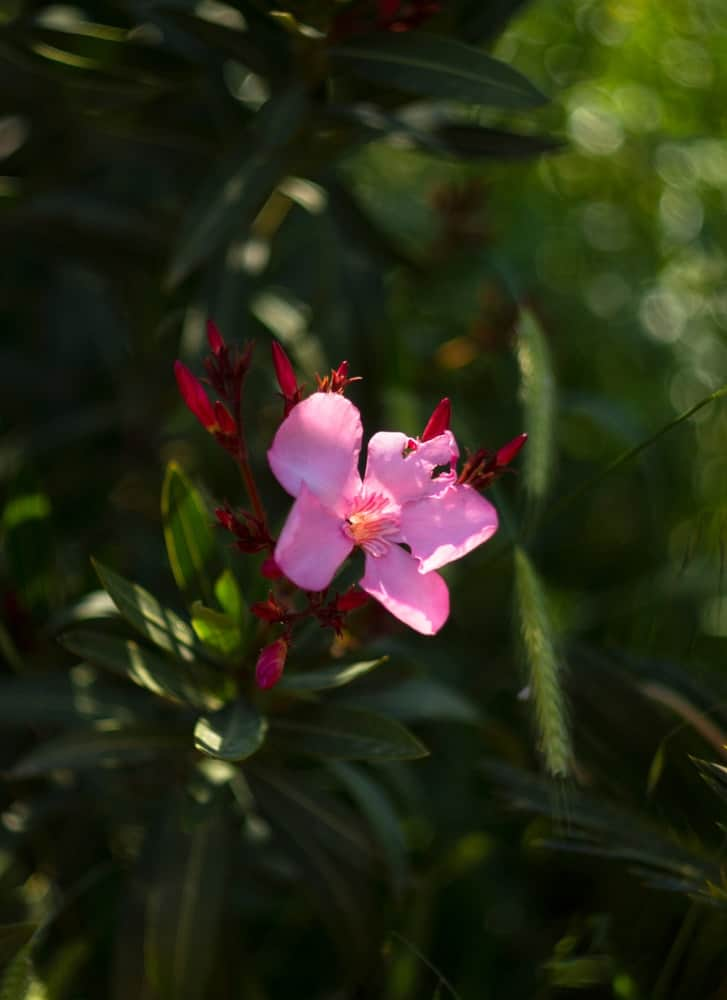 A close look at the pink Oleander blossom.
