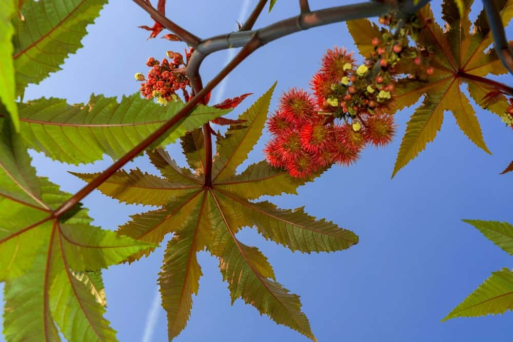 A close look at a blooming Castor Oil Plant.