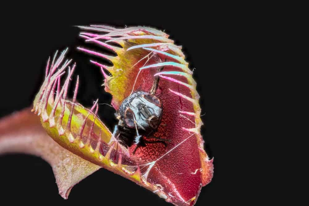 A close look at a venus flytrap with its mouth open.