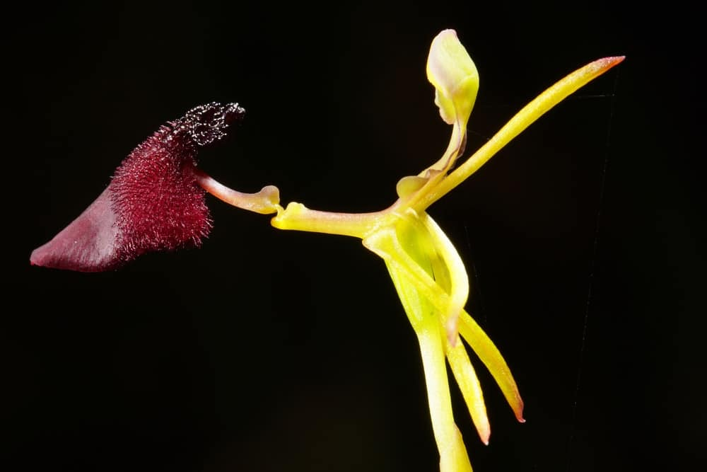 This is a close look at the flower of the Hammer Orchid.