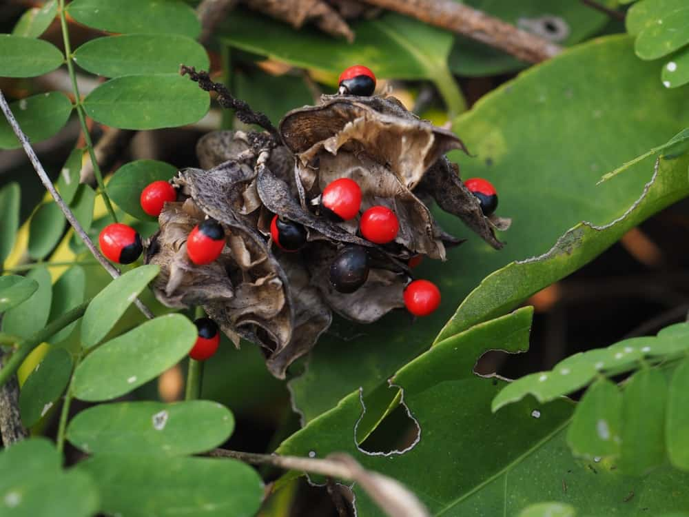 A close look at the fruits of the Jequirity or Rosary Pea plant.