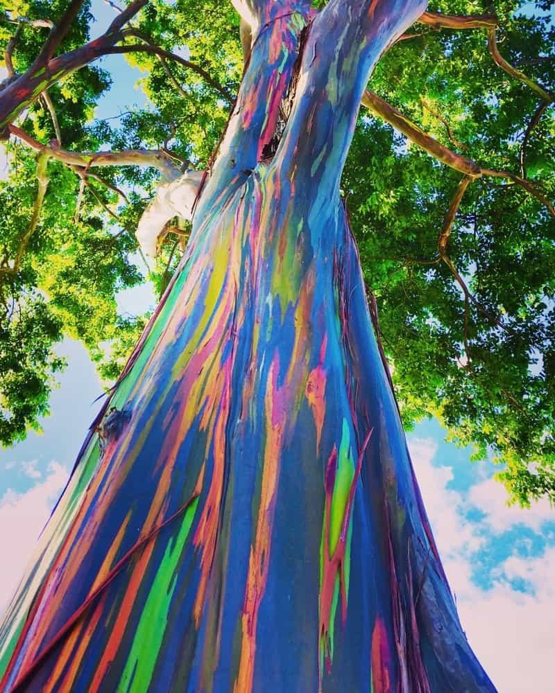 Closeup of rainbow eucalyptus tree.