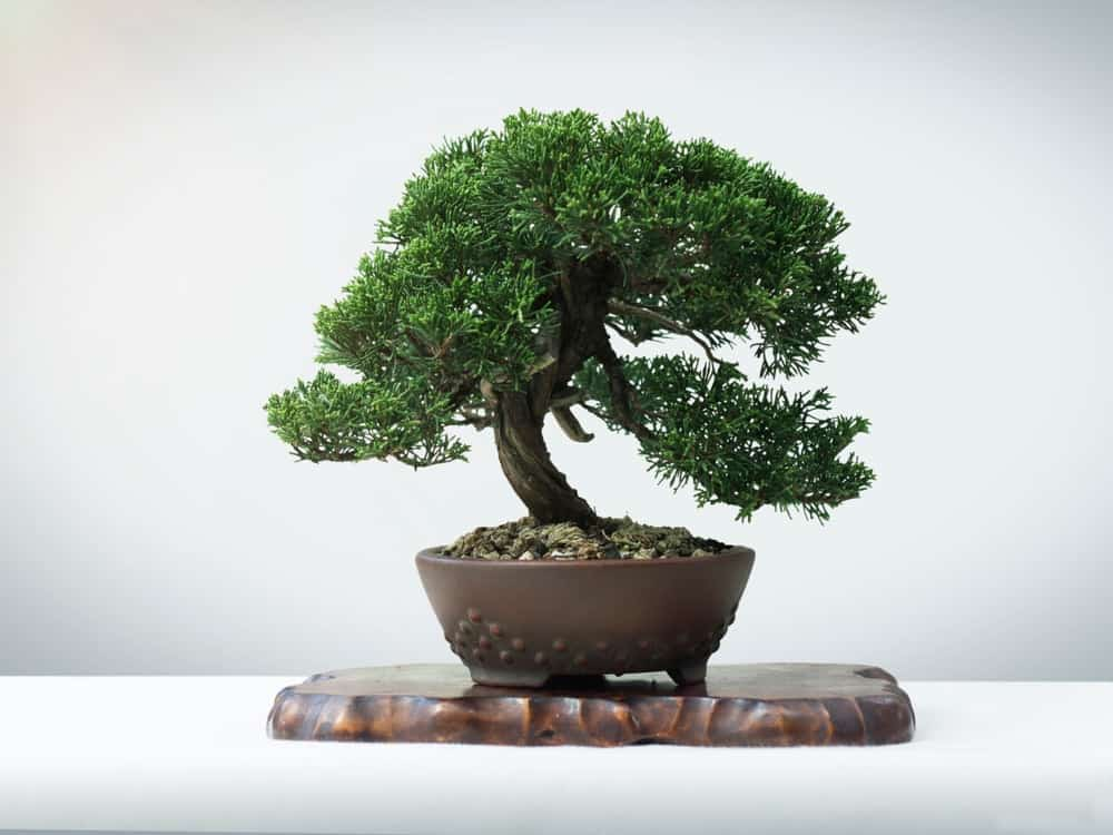 A Japanese Juniper bonsai tree.