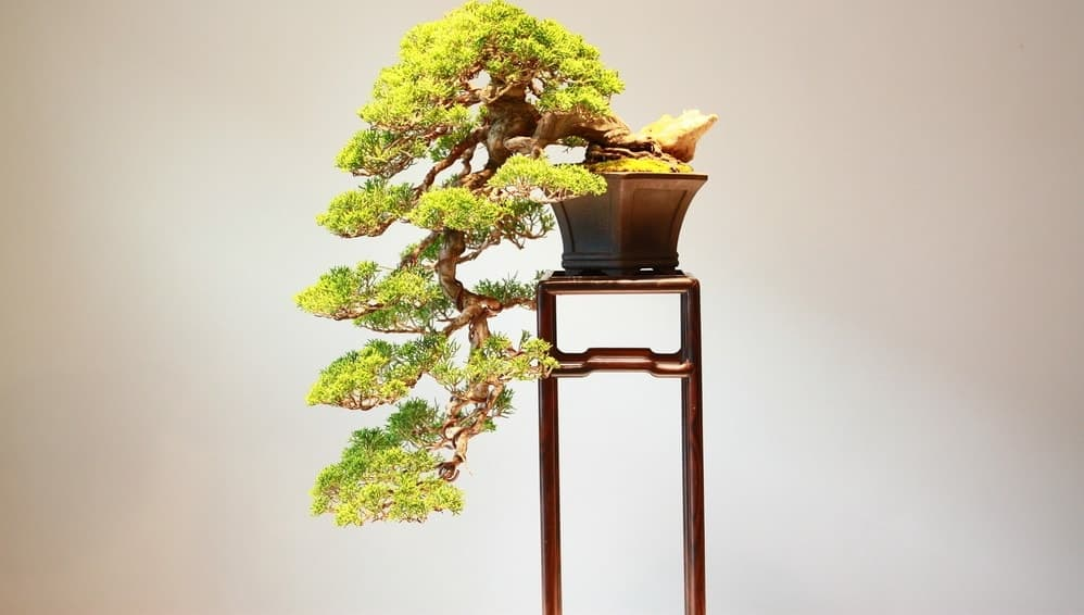 A properly cared for bonsai tree.