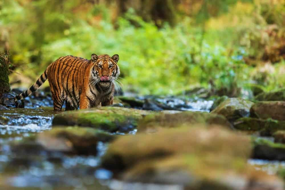 A look at a Siberian Tiger in the wild.