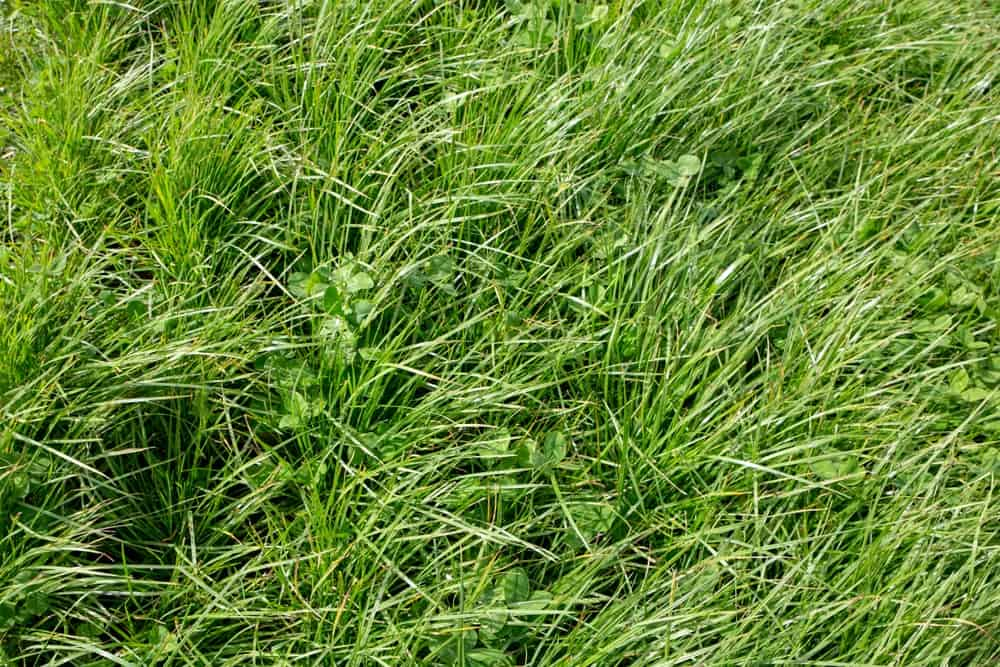 Perennial ryegrass with large leafed white clover.