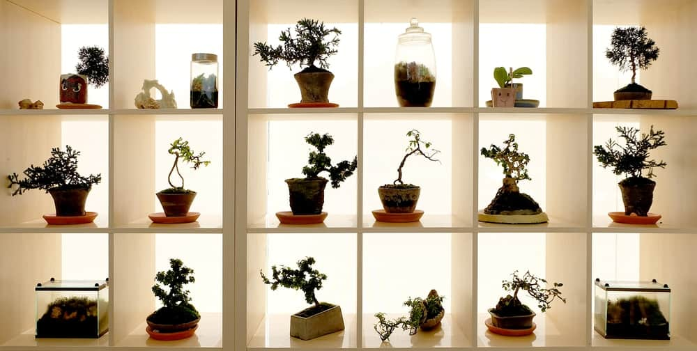 Various bonsai trees on display on separate shelves.