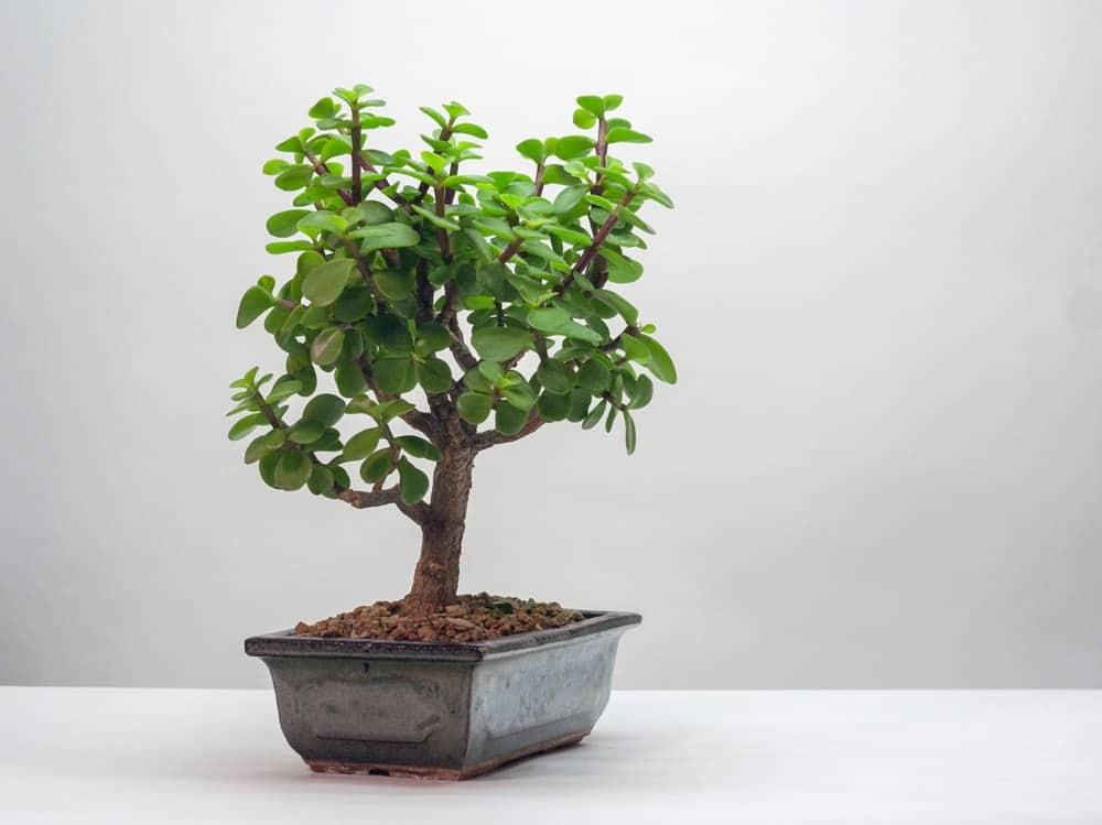 A close look at a Dwarf Jade Bonsai on a pot.