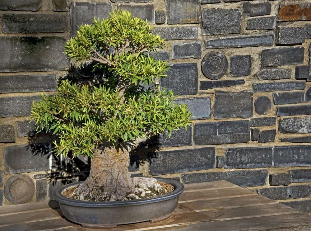 A healthy Willow Leaf Ficus Bonsai on a wooden table.