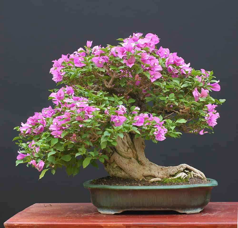 A close look at a Flowering Bougainvillea Bonsai with blooming pink flowers.