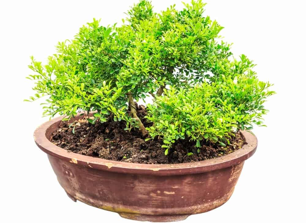 A focused look at a Tropical Boxwood Bonsai in a terracotta pot.