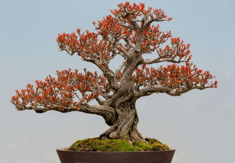 A close look at a healthy Dwarf Pomegranate Bonsai with autumn-toned leaves.