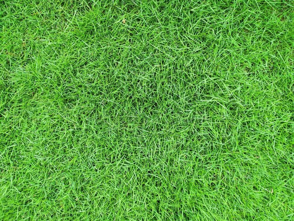 Top view of Zoysia japonica grass.