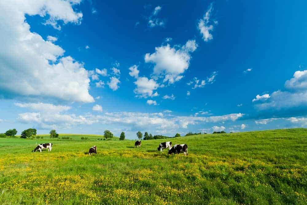 Cows on green field under a blue sky with clouds.