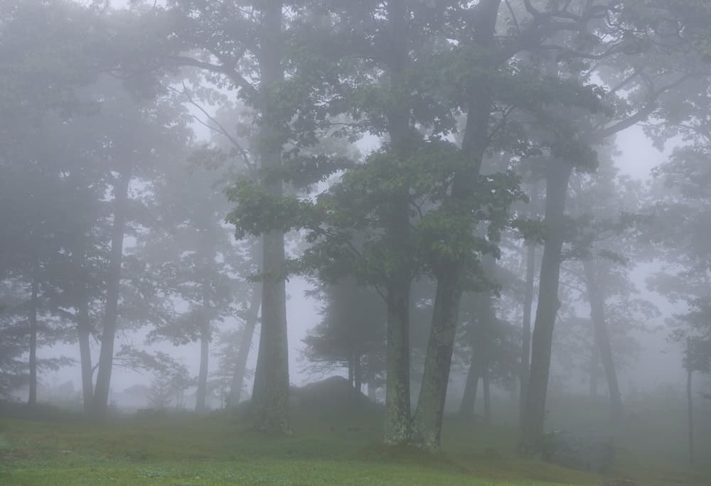 A foggy forest with tall pine trees.